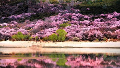西藏最美春色 林芝雪山底下看桃花